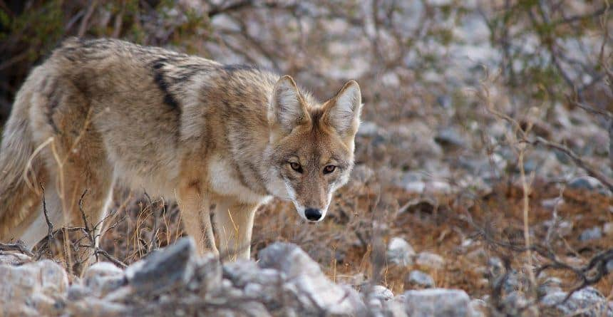 How to Hunt Coyotes in the Desert