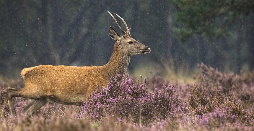 Do Deer Move in the Rain Wind Weather Red Deer Outdoors