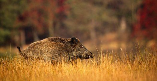 How to Hunt Wild Boar - Hog Hunting Tips