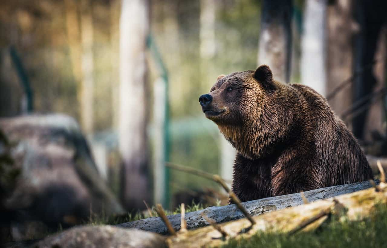 large brown Grizzly bear